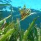 Buceo-con-Flor-de- posidonia
